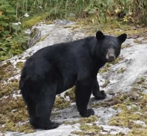 Bear near Juneau, Alaska
