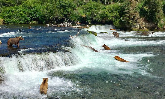Brown bears hunting for Sockeye Salmon at the top of Brooks Falls in Katmai National Park and Preserve