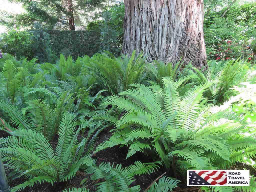 Huge ferns in the shade at Butchart Gardens