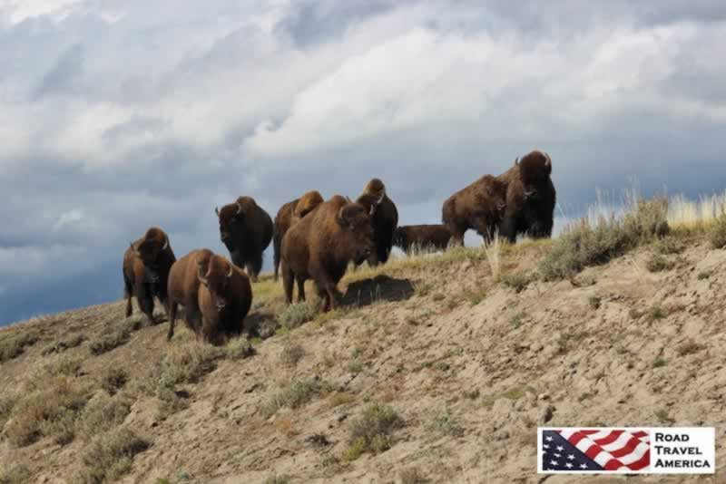 Thundering bison herd down a slope in Yellowstone National Park