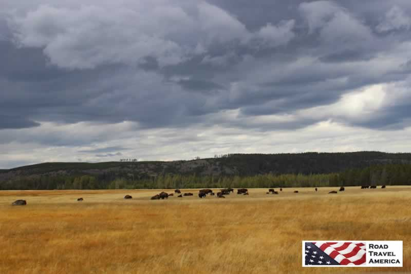 Bison grazing on the grass in Yellowstone National Park